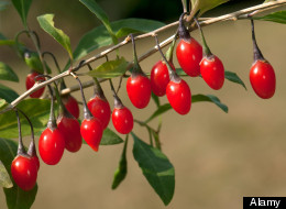 Goji Berry Could Protect Eyes